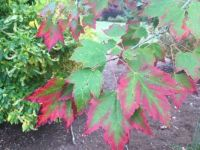 Acer 'Red Sunset'