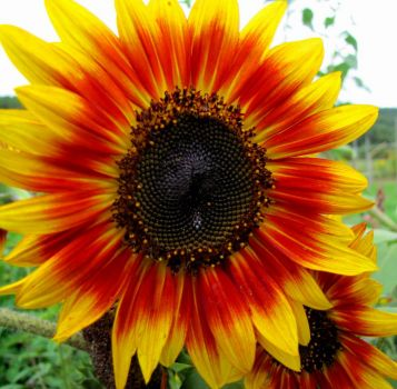 And Another Sunflower