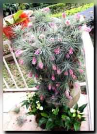 """Cotton Candy""  Tilandsia"