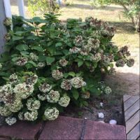 The pandemic was not kind to our hydrangea