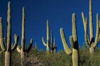 Saguaro-cactus-Arizona for Helenpuz