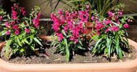 Red Angelonia Planter