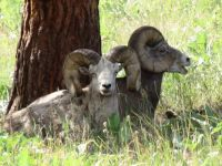 big horn sheep on Wild Horse Island, Flathead Lake, MT
