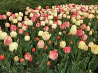 More tulip varieties at the festival.