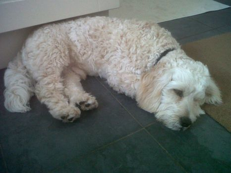 ALFIE  is so tired after his long walk