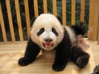 Baby Panda (a nice change from motorcycles and cartoons)