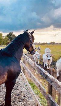 paard en koeien