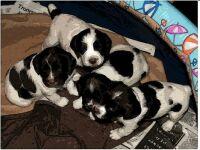 Harriets puppies