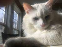 Khao Manee Cat Named Jack