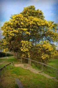 The Wattle Tree