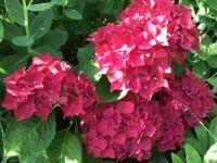 Red hortensias