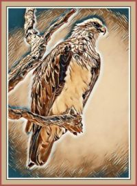 Eastern Osprey, Harvey Estuary