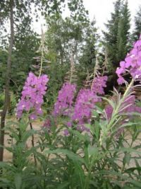 fireweed-Large