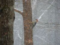 red head wookpecker