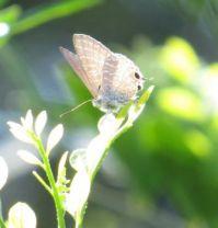 Purple Line-blue Butterfly...