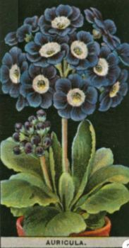 Auricula  /  Mills's Cigarette Cards of the 1920s