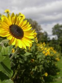 Sunflowers - Riverview Farm NH