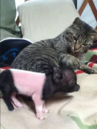 Oink? No, it's pronounced Meow.
