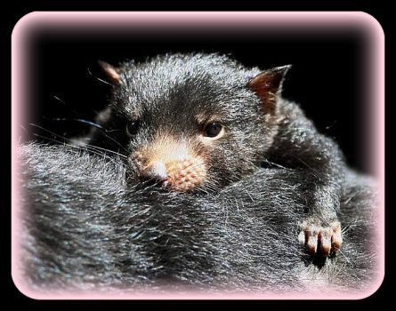 Just cuz it is Monday. . .Do I have to get up early?  Baby Tasmanian Devil