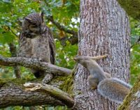 Great Horned Owl and Squirrel   (pic by Bruce Tuck)