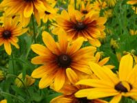 Cornucopia of Black Eyed Susans