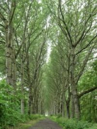 A lane of Abel trees (Abelen), in Annabos, Rockanje
