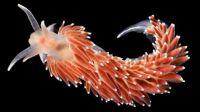 Nudibranchs(sea snails or slugs)