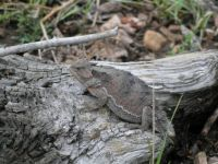 Arizona short-horned lizard
