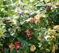 Berries for birdies