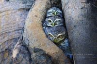 OwlsInARow