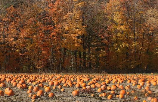 Pumpkin Patch in Ontario Canada
