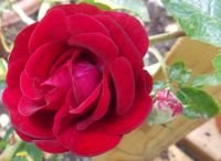 What a lucky find! Labelled only as 'Red Rose' - and she was a beautiful velvety little soul!
