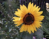 slunečnice, čmeláci jako na kolotoči, Sunflower ... carousel for bumblebees