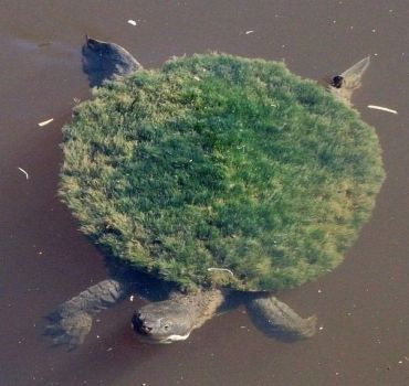 Mary River Turtle.