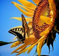 . sunflower with Butterfly