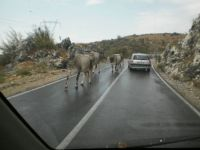 ATENTION! COWS ON THE ROAD!