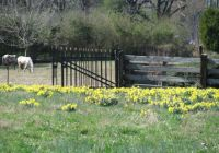 daffodils and horses