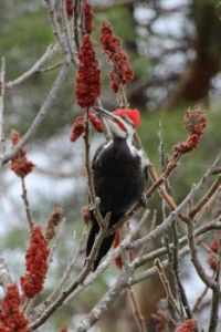 Pileated Woodpecker - Sumac nibbles
