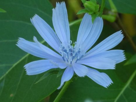 chicory different shade of blue