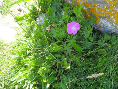 Cranesbill growing in the Burren rocks, Ireland