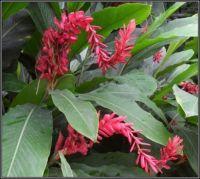 Galgán nachový...  ( Alpinia purpurata)...