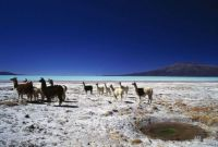 Herd of Llamas on shore of Coipasa Lake, Bolivia