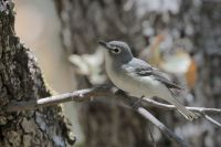 Plumbeous Vireo by Greg Lavaty
