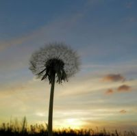 fluffy dandelion head at sunset