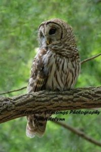 Barred Owl, Cades Cove