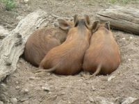 Three little Iron Age piggies
