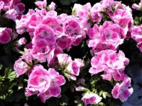 Series springflowers: Geraniums