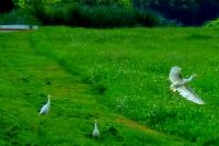 Beautiful egrets at Celery Fields