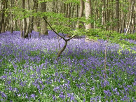 bluebells at arlington, sussex 2