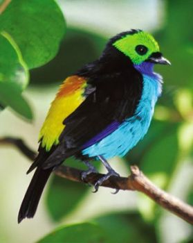 Paradise Tanager, South America..
